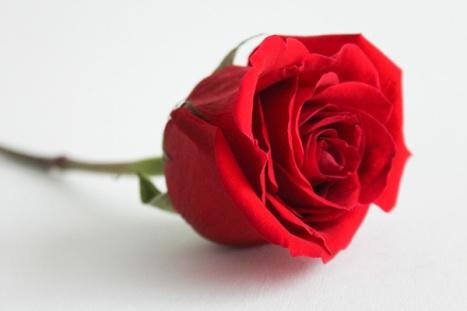 rose, flower, macro